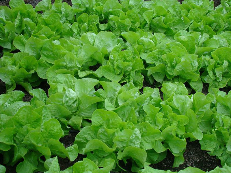 produse-bio-salata-verde