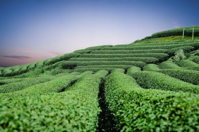 Ceaiul verde indicatii si contraindicatii