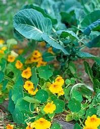 culturile succesive si asociate de legume