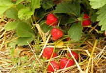 mulcirea solului in plantatiile de capsun