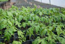 producerea de rasaduri de legume