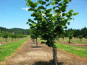 cultivarea-alunilor-3