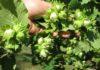 cultivarea alunului