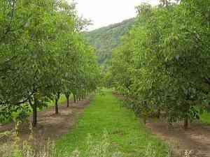 plantatie-de-nuci-afacere-profitabila-pe-termen-lung