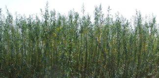 plante energetice salcia