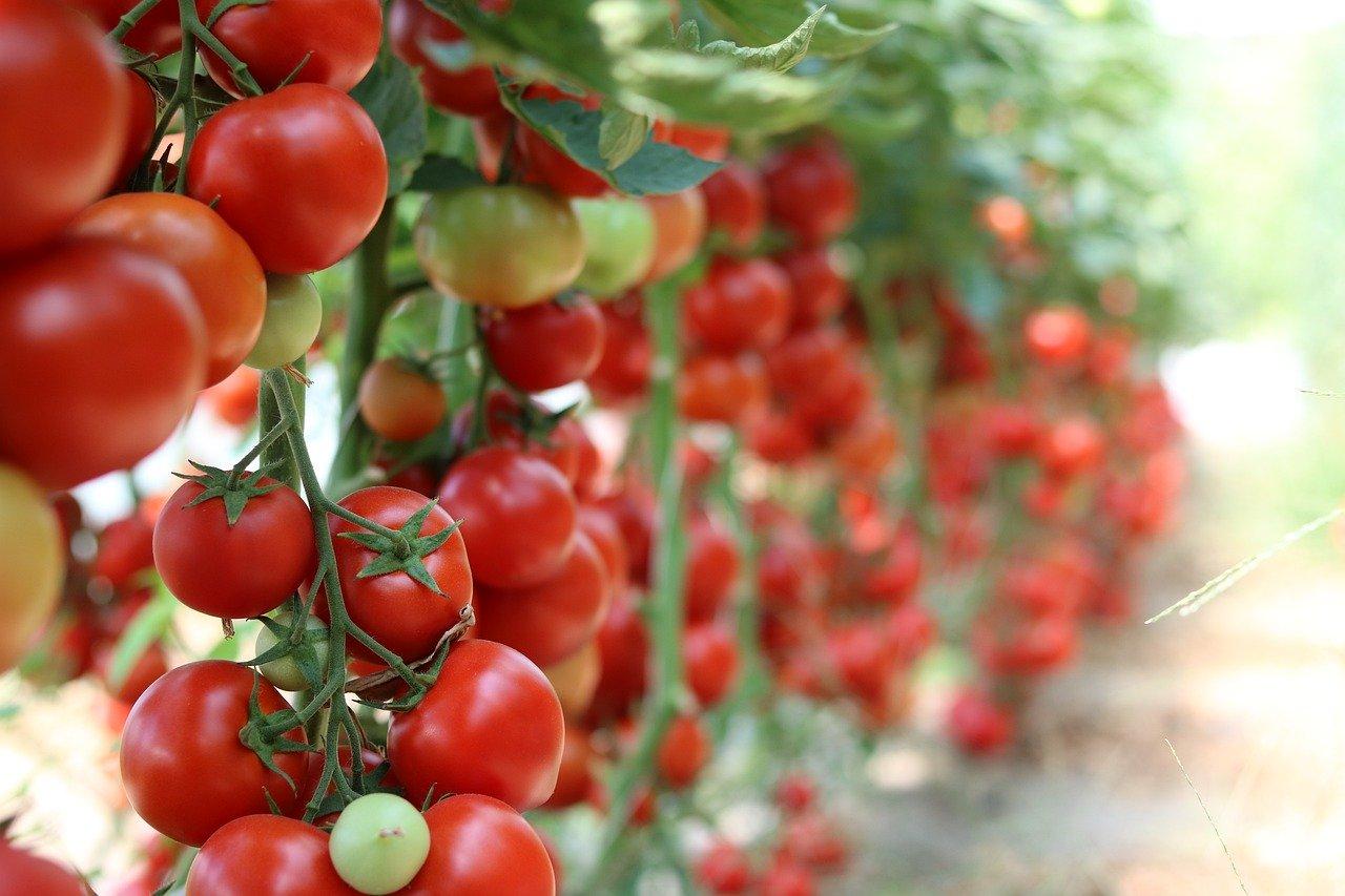 culturi verticale legume rosii