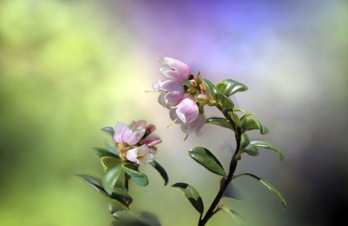 flori afin cu tufa inalta
