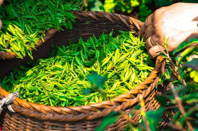 ceai verde utilizari