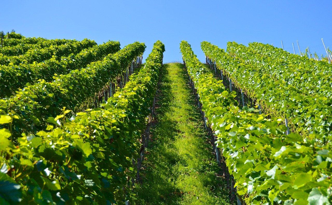 podgorie viticultura