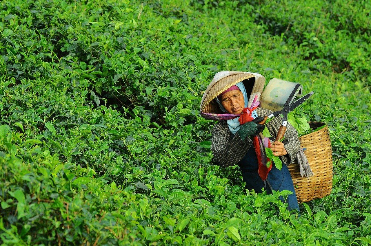 planta de ceai verde