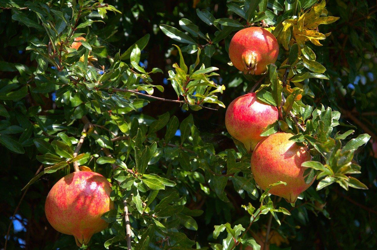 rodii fructe